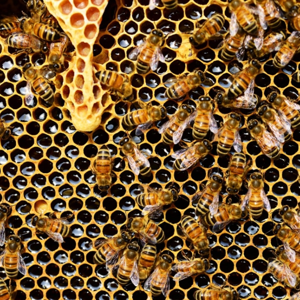 honey bees on honeycomb hive