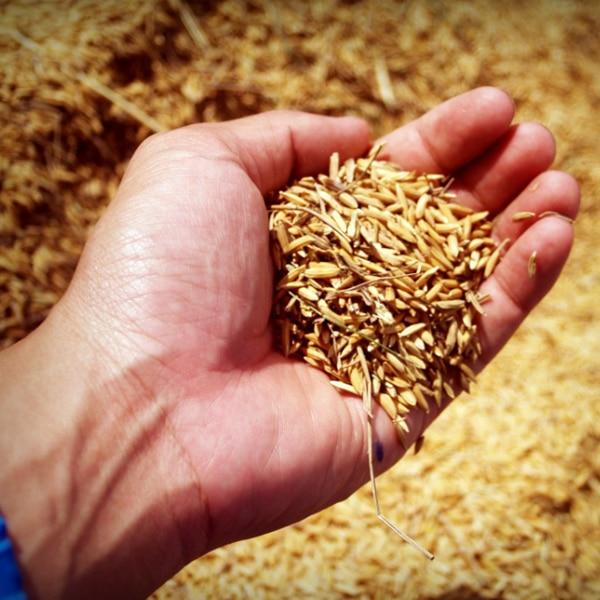 hand holding grain