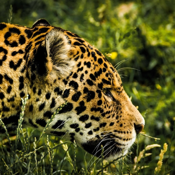 jaguar head in grass