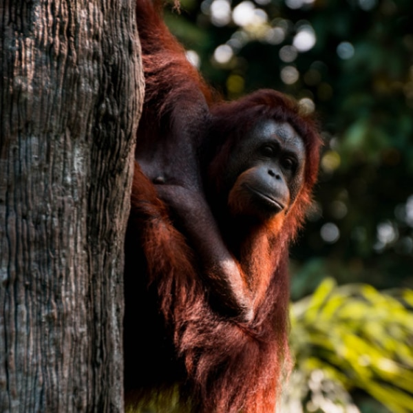 orangutan on tree