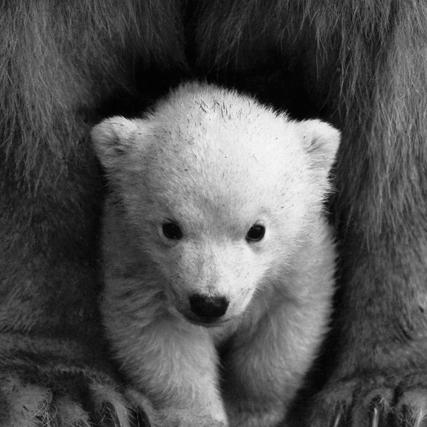 baby polar bear with mother black and white
